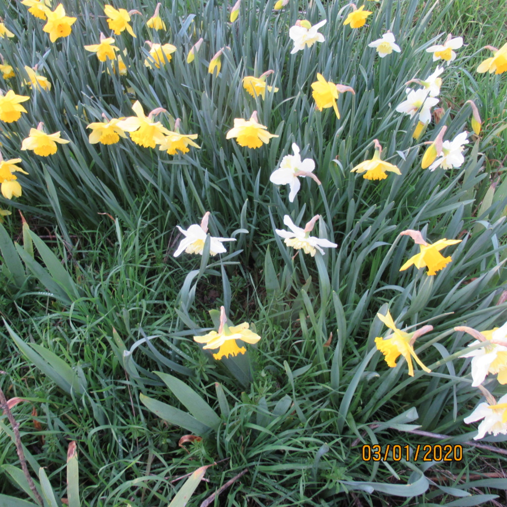 Jonquille, Narcisse - Page 12 Img_3232