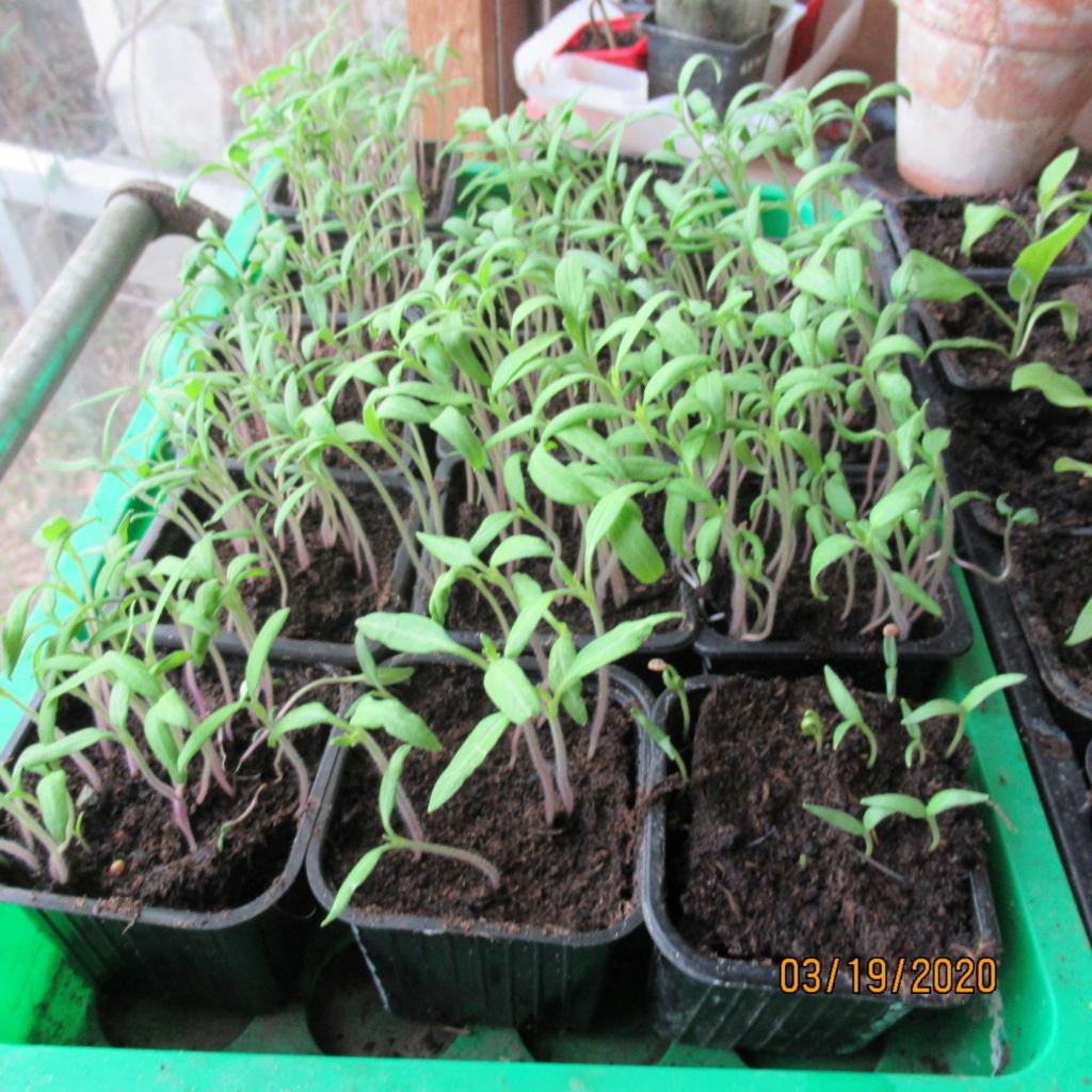 semis de tomates - Page 28 Img_3330