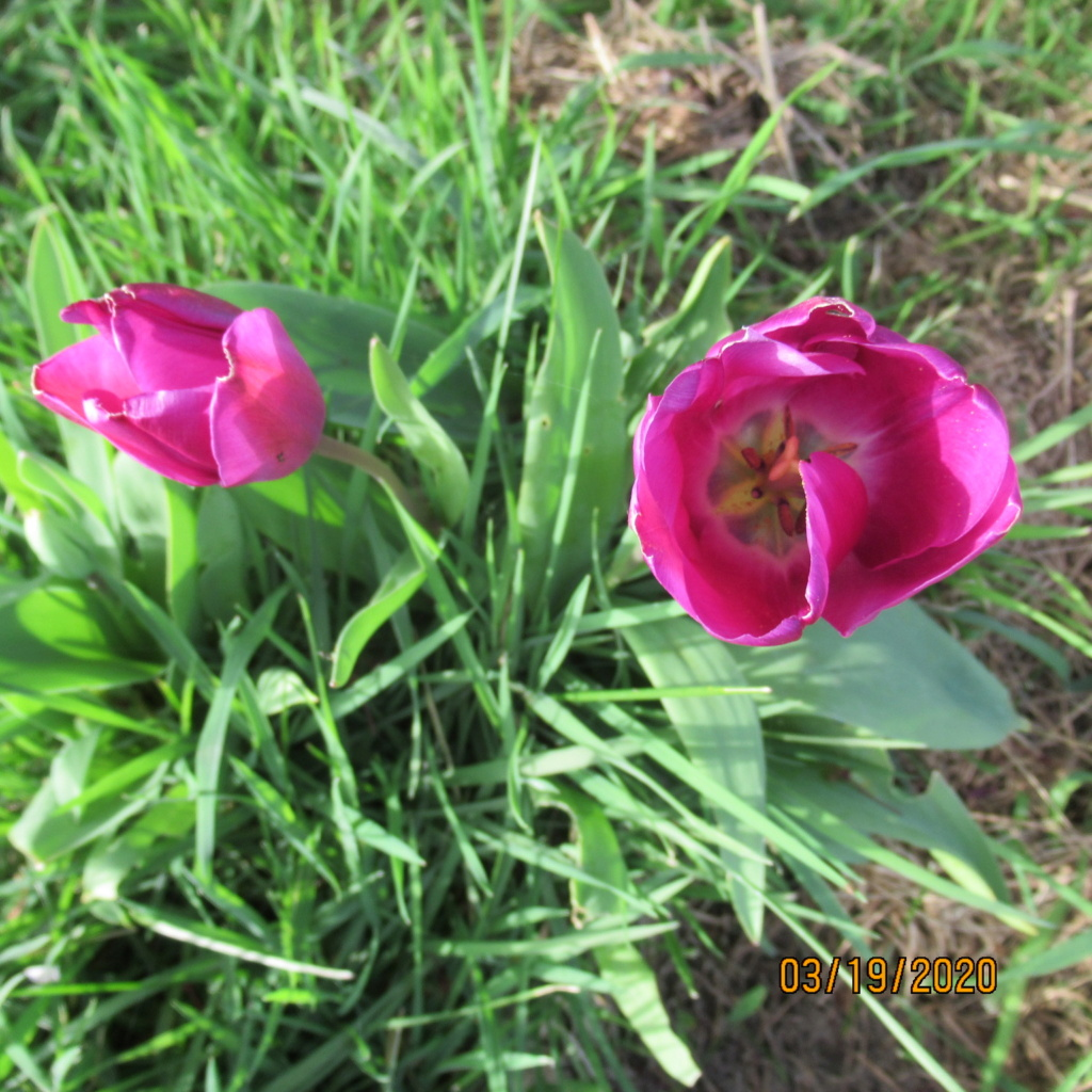 tulipes - Page 2 Img_3334