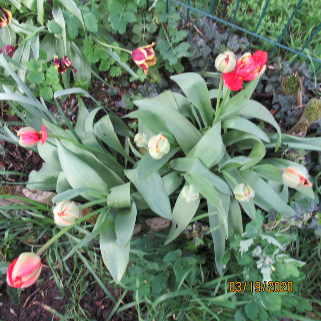 tulipes - Page 2 Img_3335