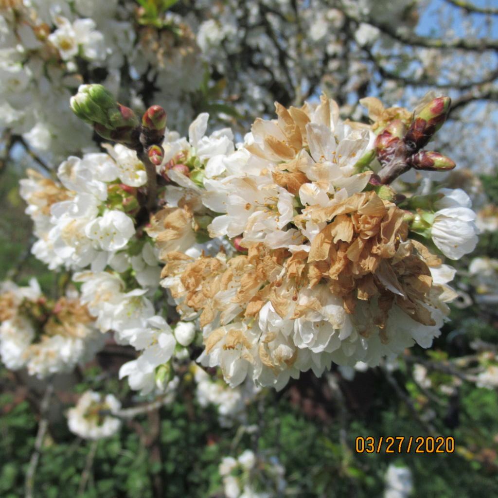 cerisier Img_3342