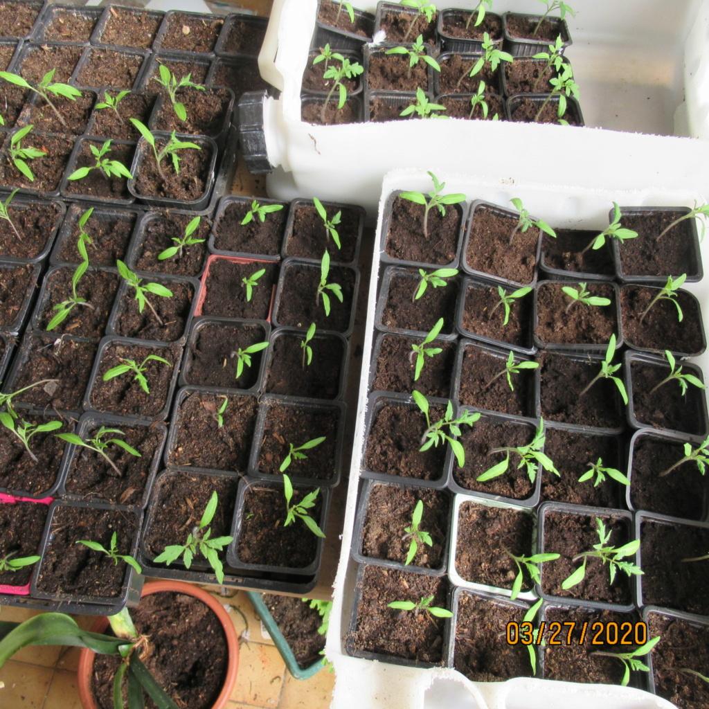 semis de tomates - Page 29 Img_3352