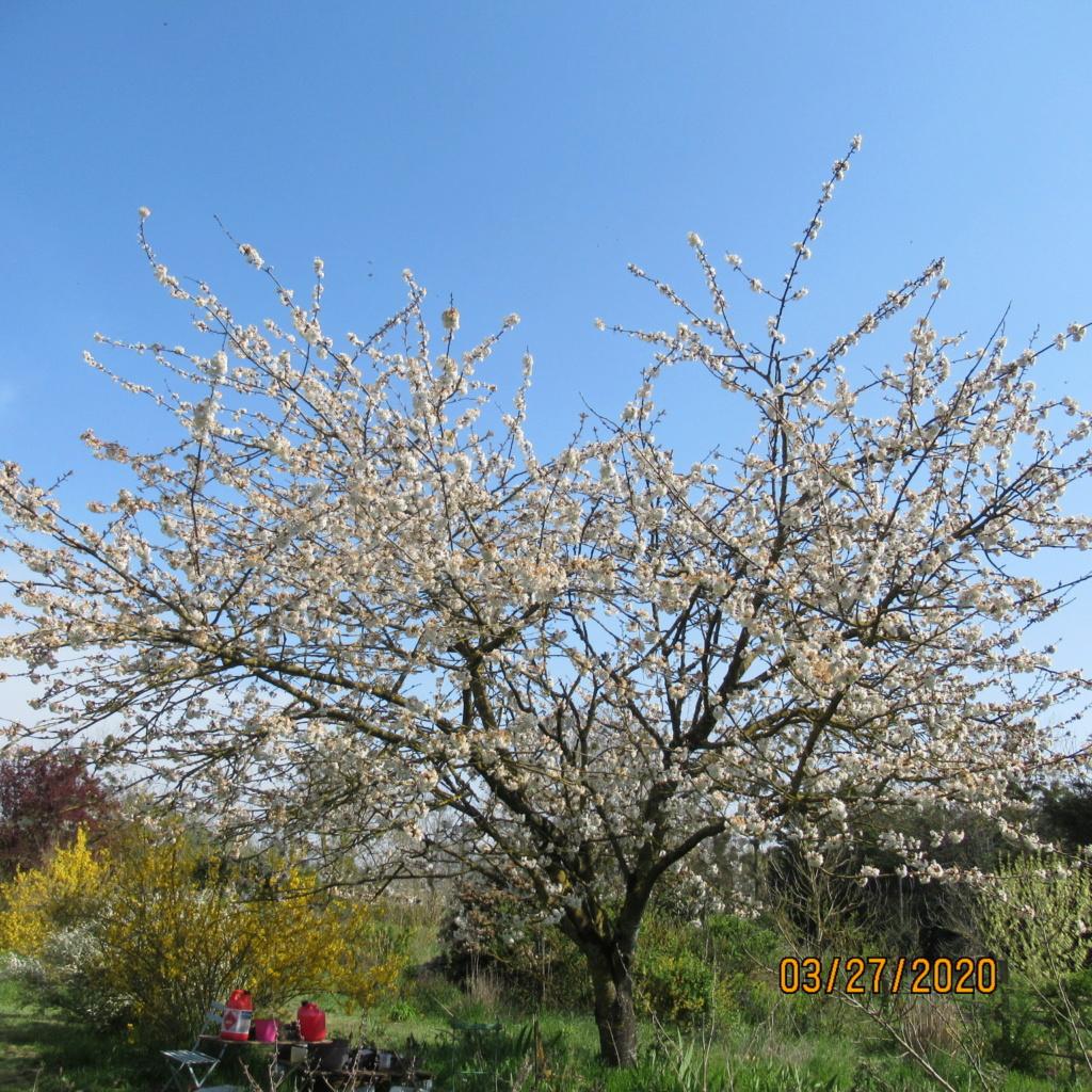 cerisier Img_3416