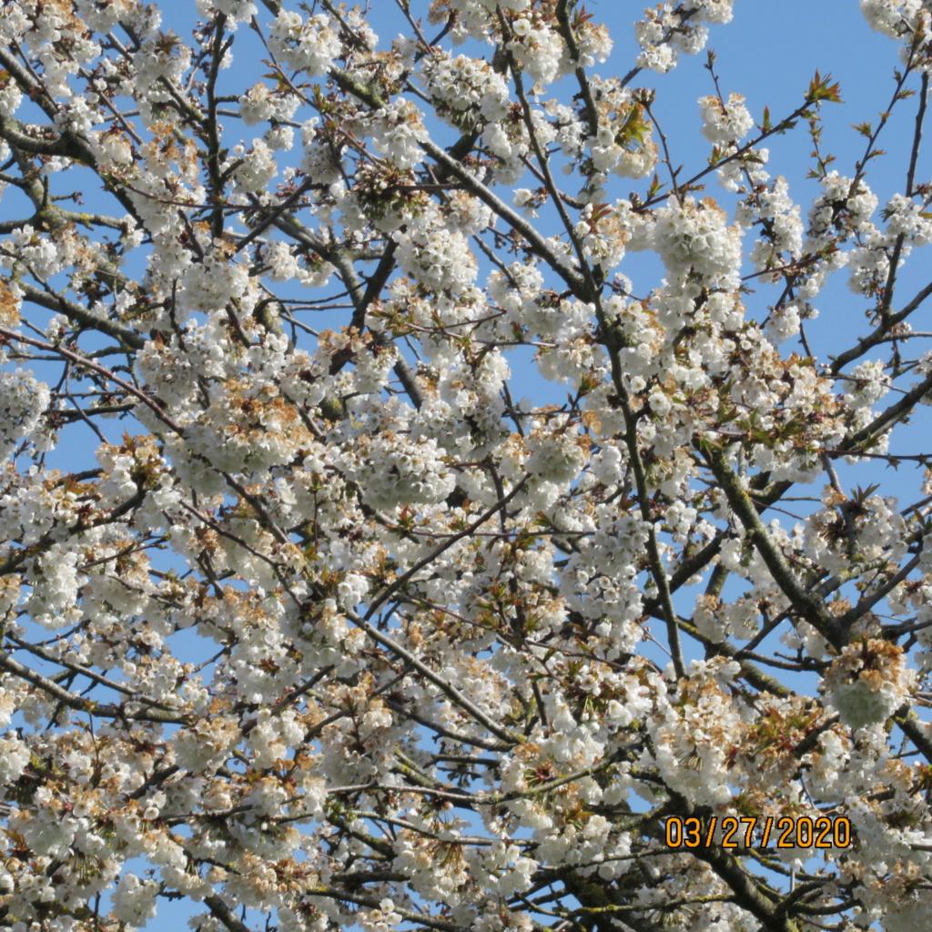 cerisier Img_3417