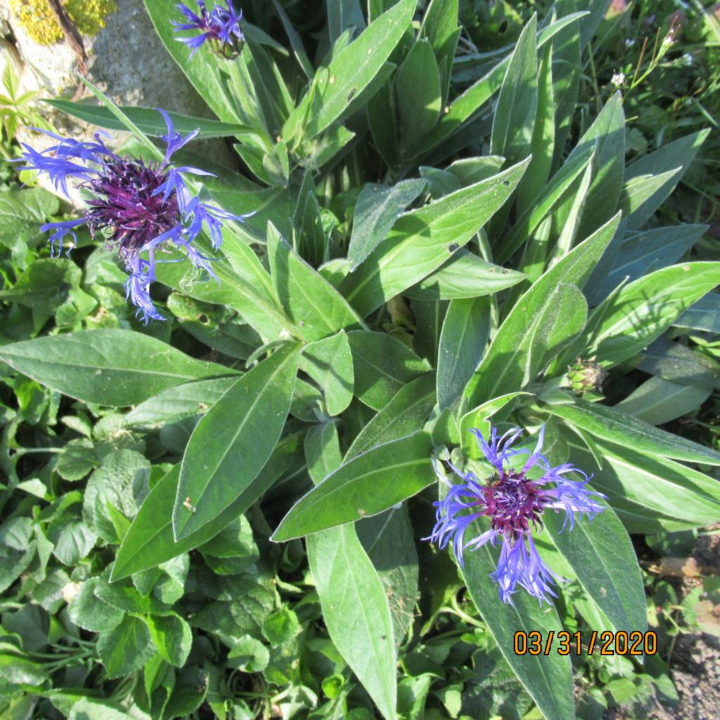 Centauréa montana (bleuet vivace) - Page 4 Img_3424