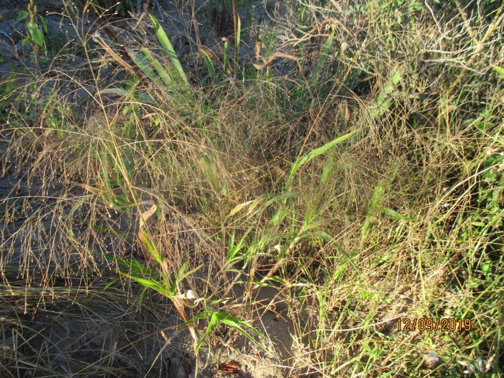 Graminée... Panicum elegans Img_3511