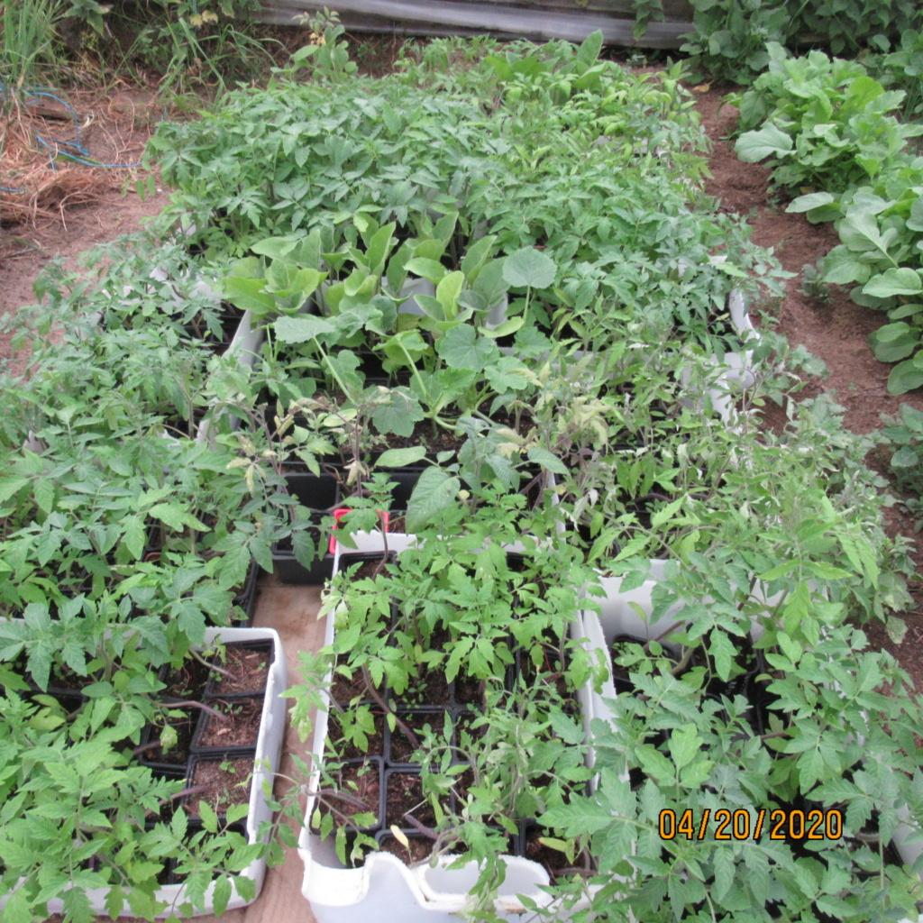 semis de tomates - Page 30 Img_3533