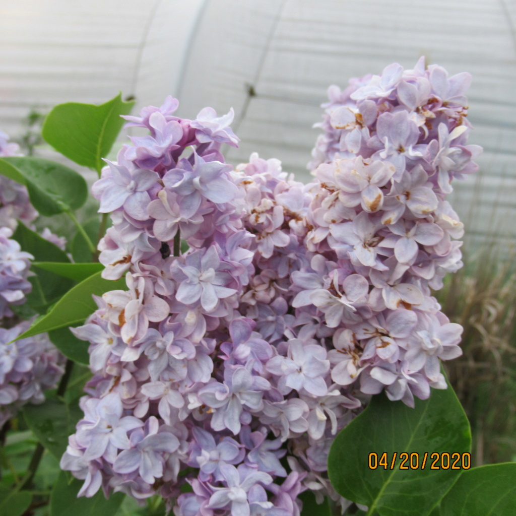 Lilas - Page 13 Img_3534