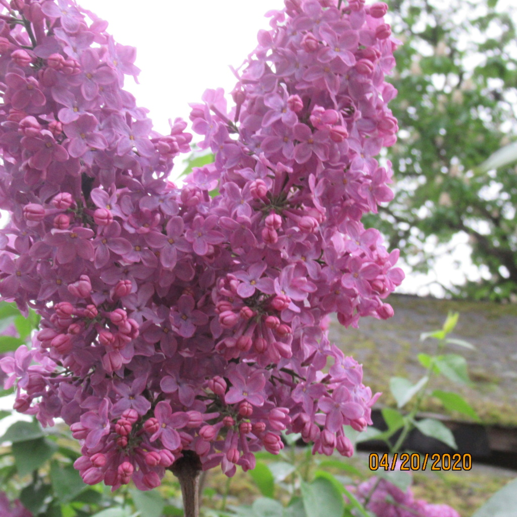 Lilas - Page 13 Img_3535