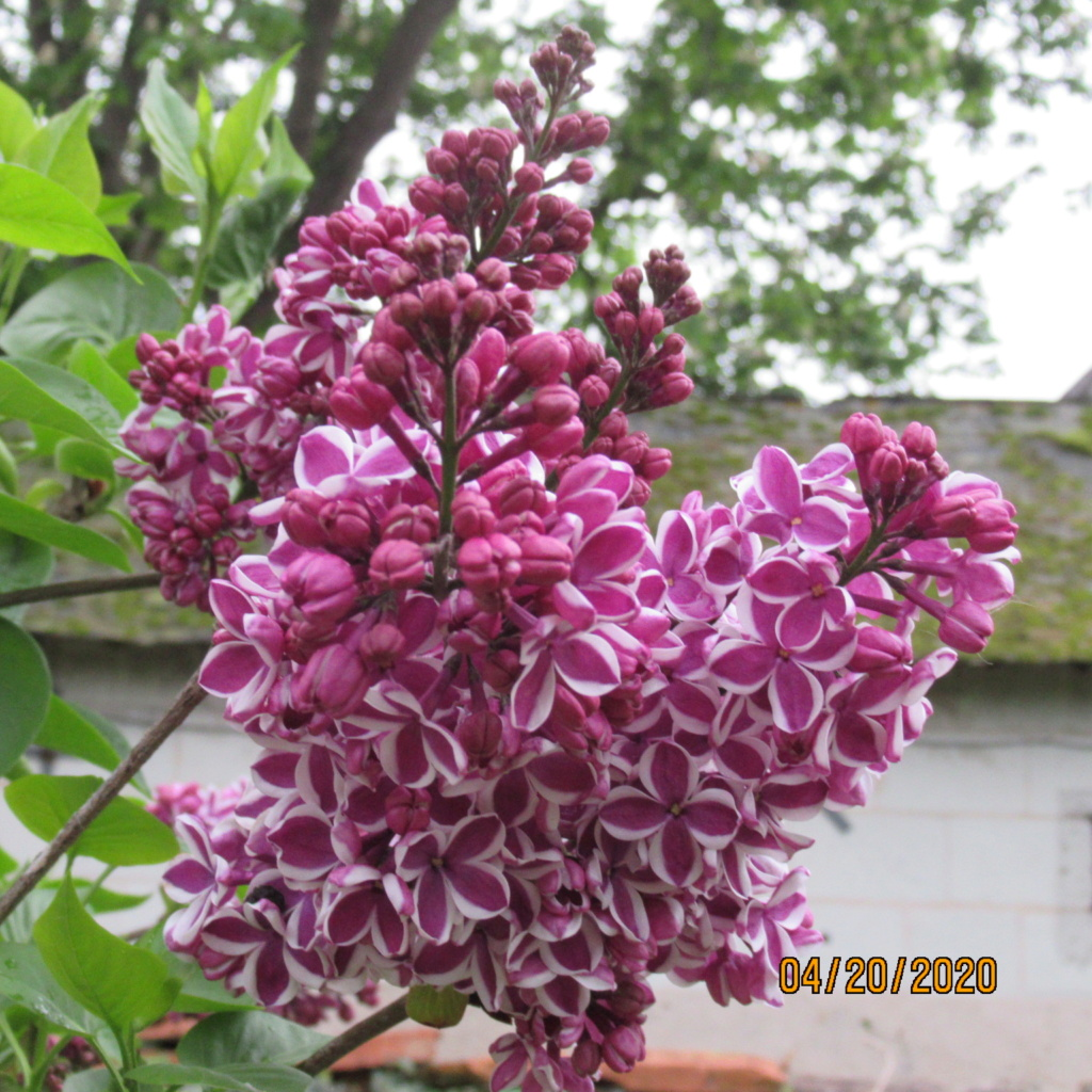Lilas - Page 13 Img_3536