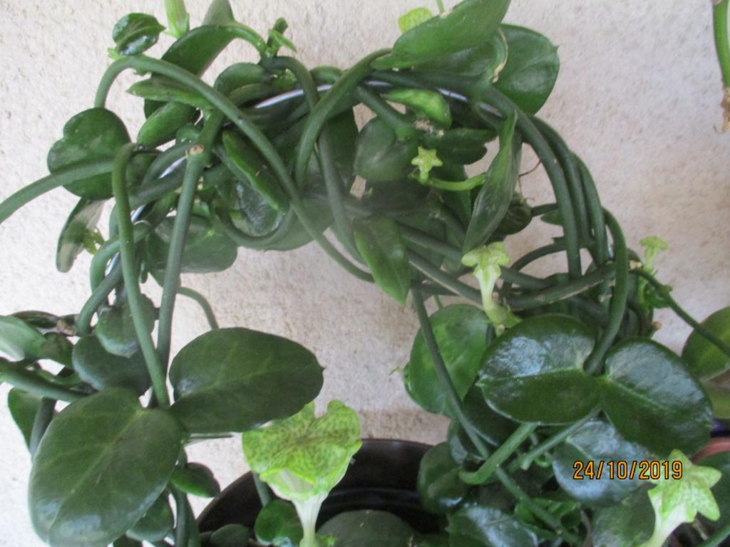 Plante d'appartement peut-être hoya ? non :  ceropegia sandersonii ou plante parachute  - Page 2 Img_3915