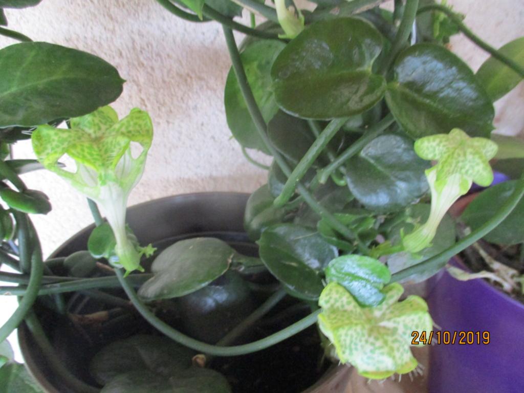 Plante d'appartement peut-être hoya ? non :  ceropegia sandersonii ou plante parachute  - Page 2 Img_3916