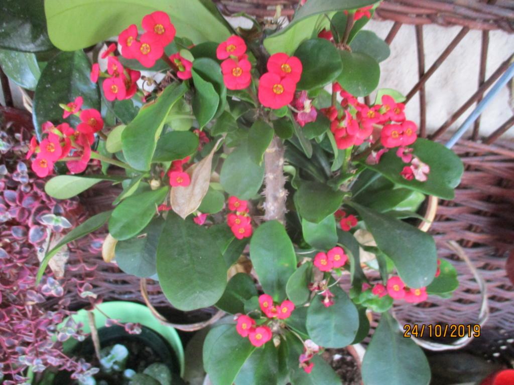 Euphorbia milii ou Epine du Christ - Page 2 Img_3944