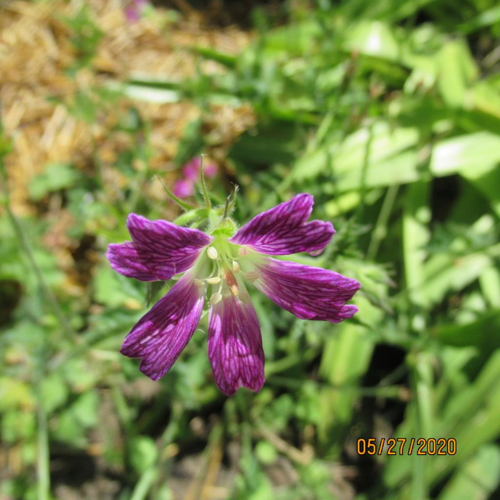 pour les amoureux des géraniums vivaces - Page 13 Img_3950
