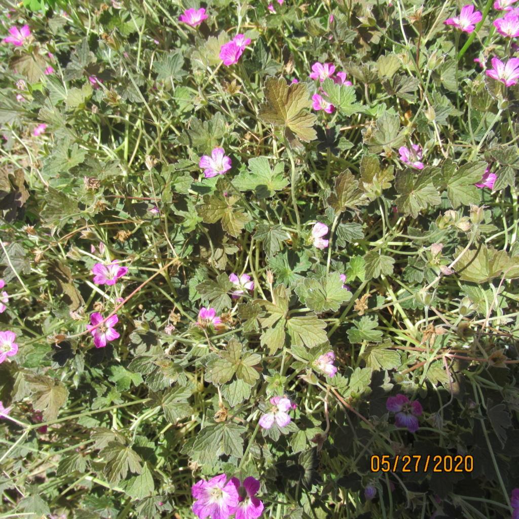 pour les amoureux des géraniums vivaces - Page 13 Img_3952