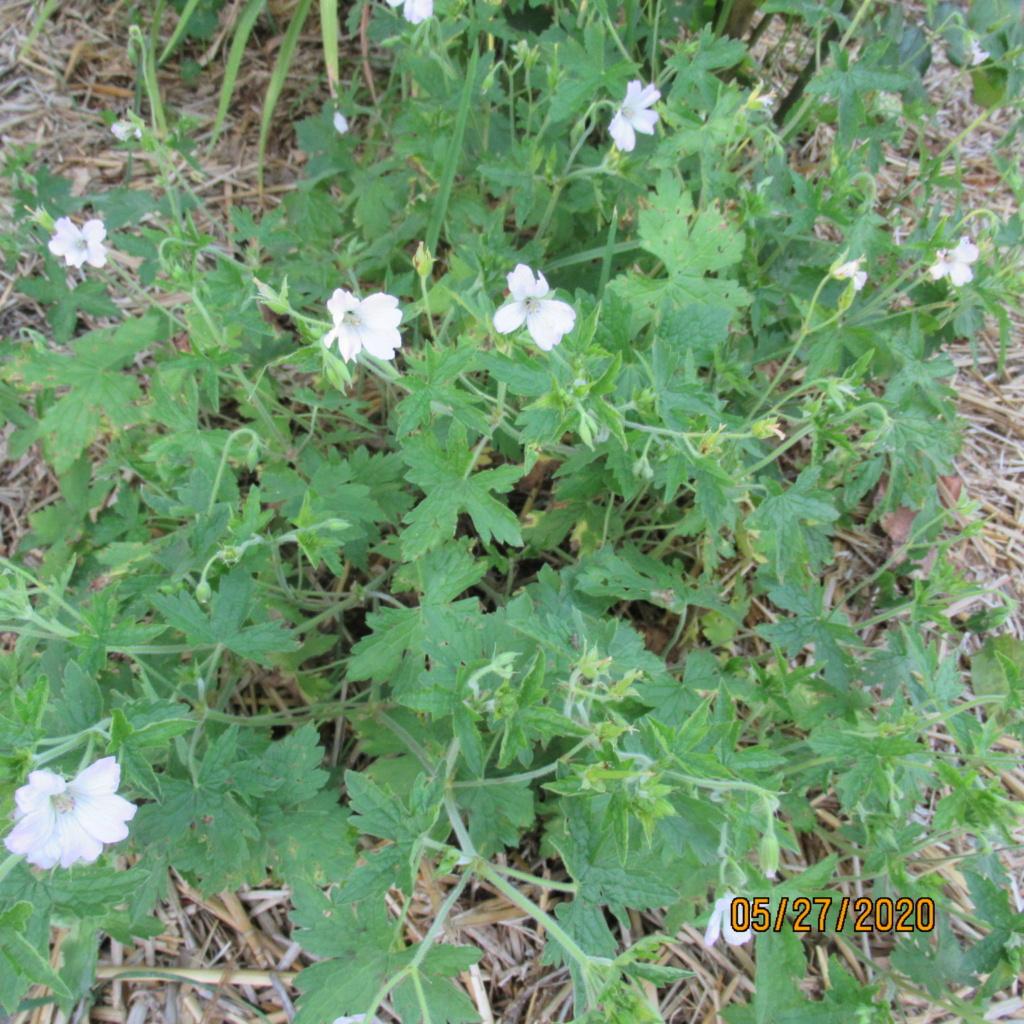 pour les amoureux des géraniums vivaces - Page 13 Img_3954