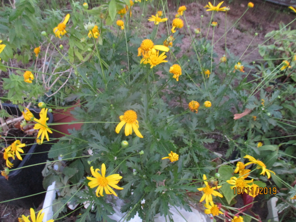 euryops chrysanthemoides  Img_4031