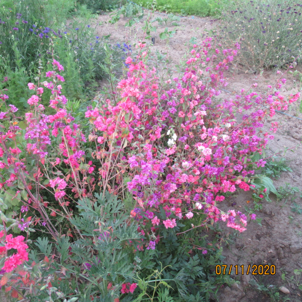 probablement une annuelle.  Clarkia unguiculata.  Img_4313