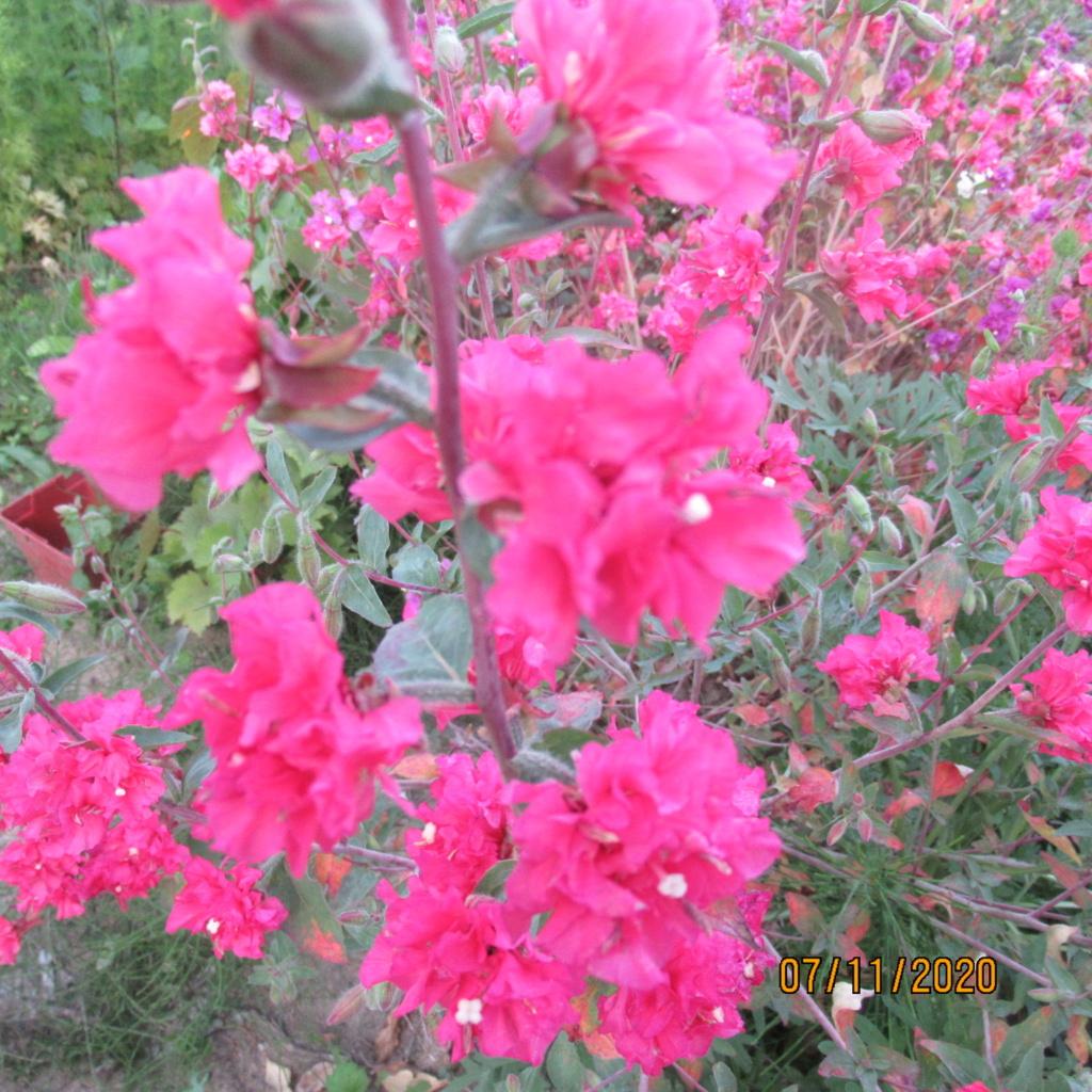 probablement une annuelle.  Clarkia unguiculata.  Img_4314