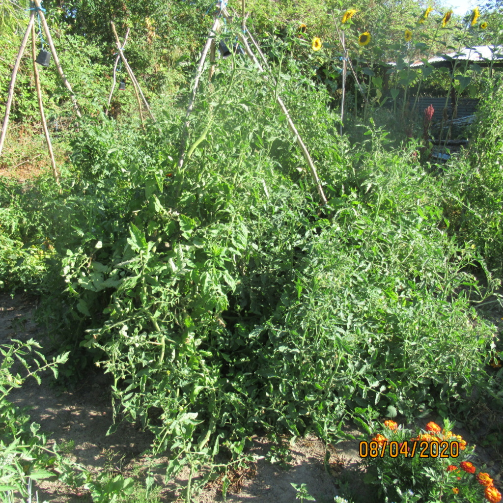 Tomates 2019 et 2020 - Page 20 Img_4437