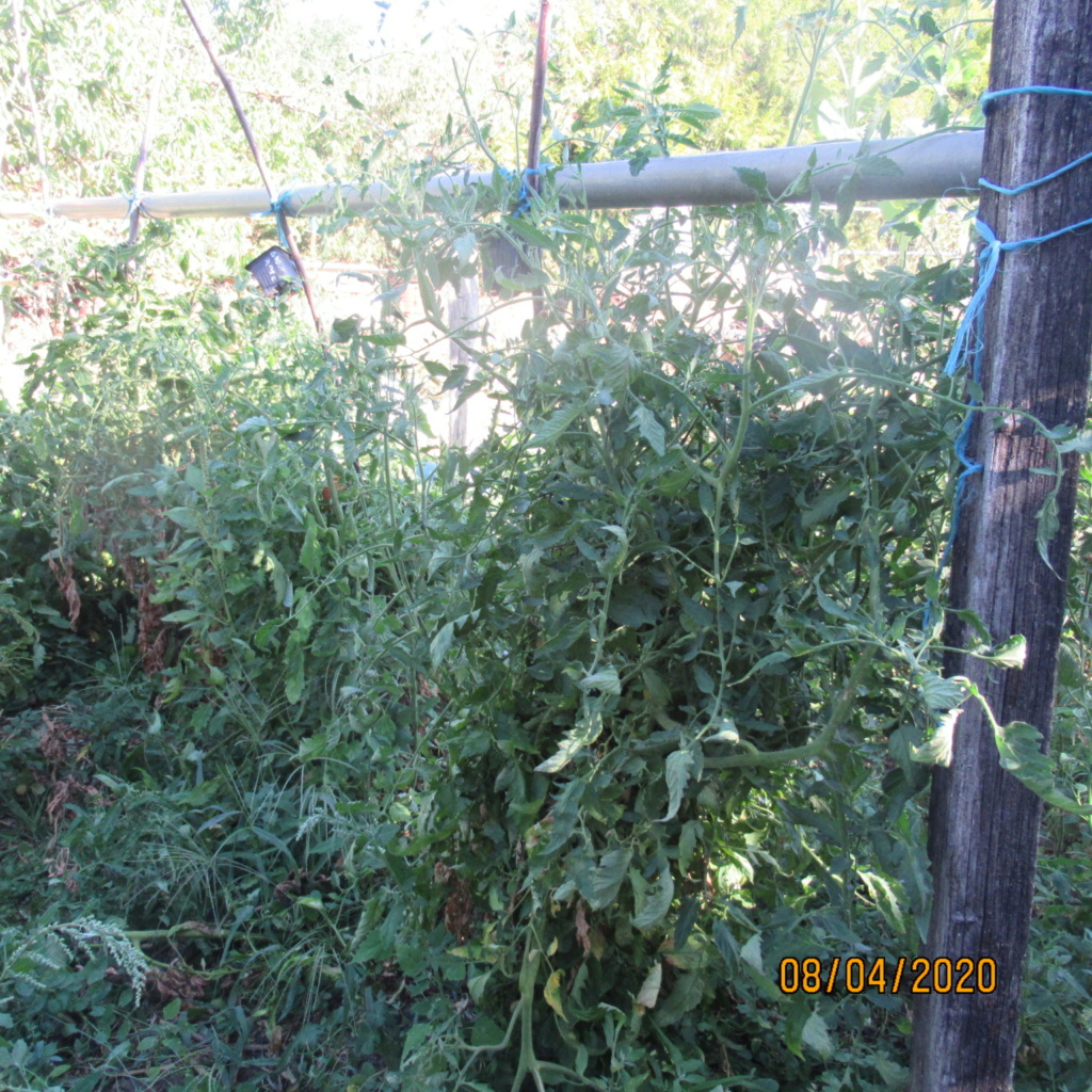 Tomates 2019 et 2020 - Page 20 Img_4439