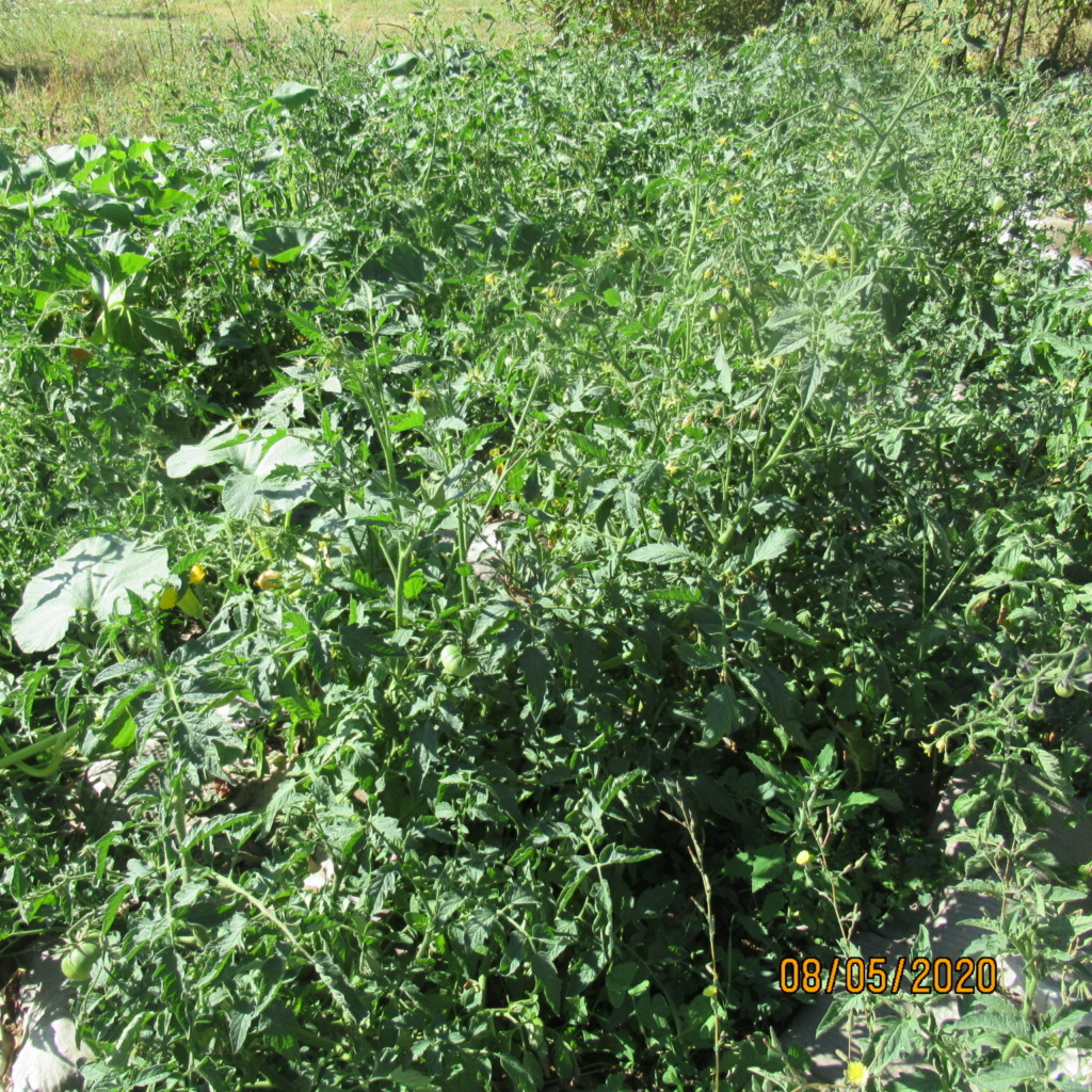 Tomates 2019 et 2020 - Page 20 Img_4514