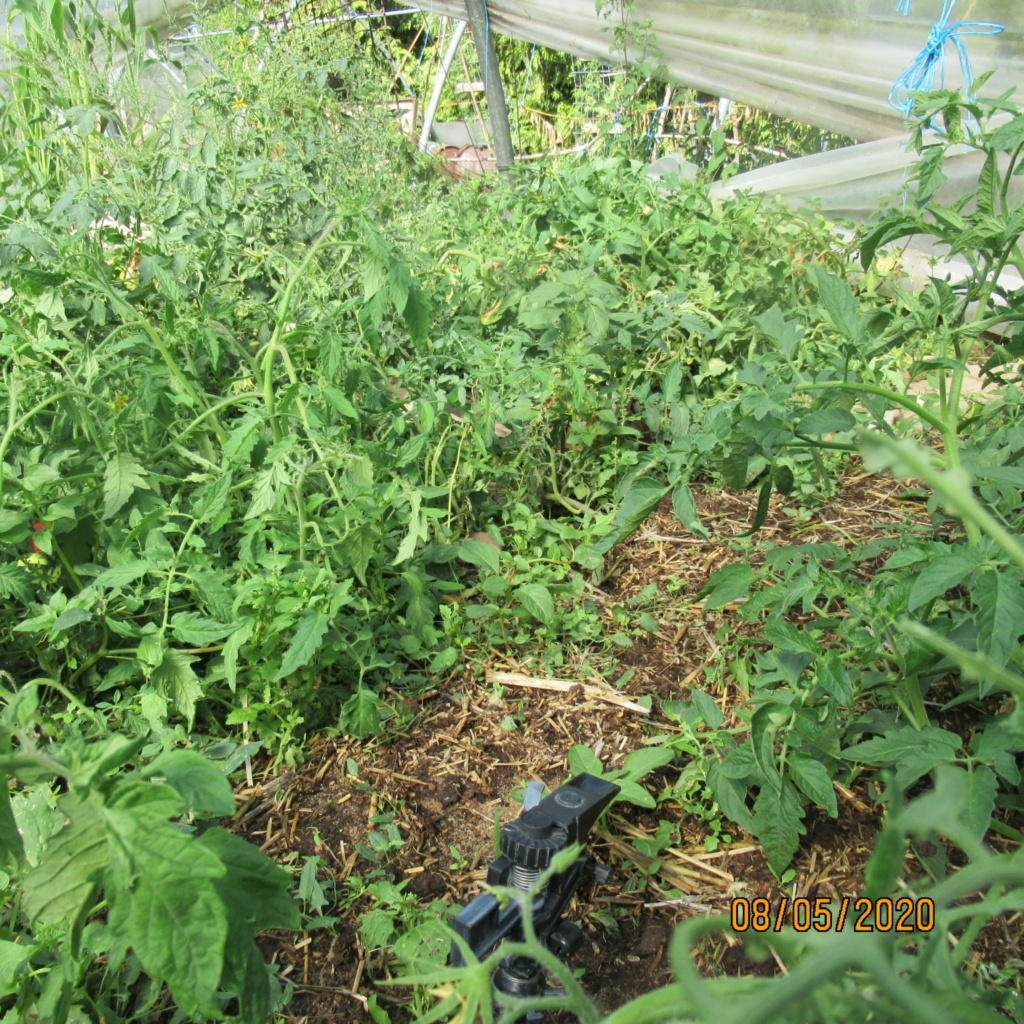 Tomates 2019 et 2020 - Page 20 Img_4519