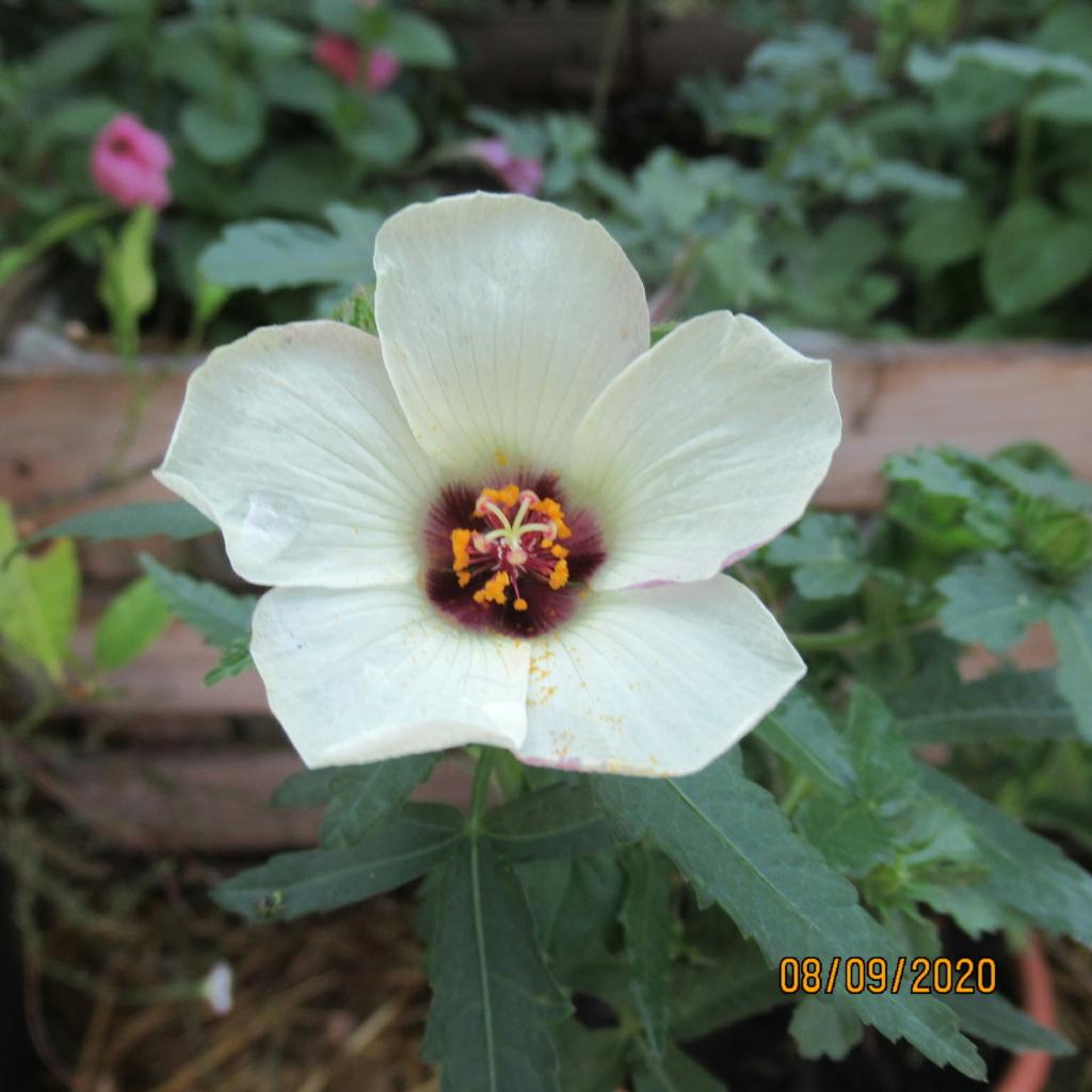hibiscus trionum Img_4537