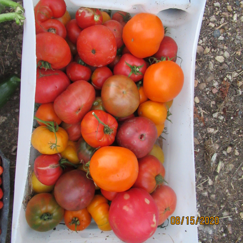 Tomates 2019 - 2020 et 2021 - Page 21 Img_4614