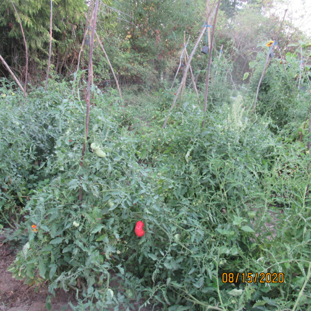 Tomates 2019 - 2020 et 2021 - Page 21 Img_4615