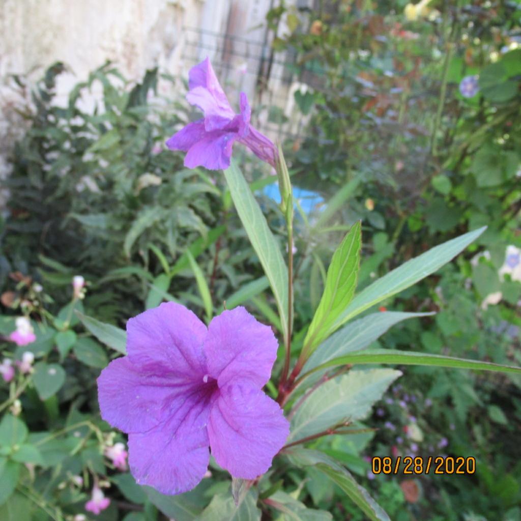 plante fleur bleue  , ruellia brittoniana Img_4639