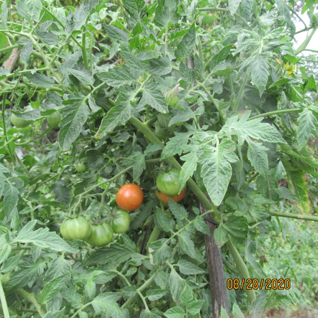 Tomates 2019 - 2020 et 2021 - Page 22 Img_4726