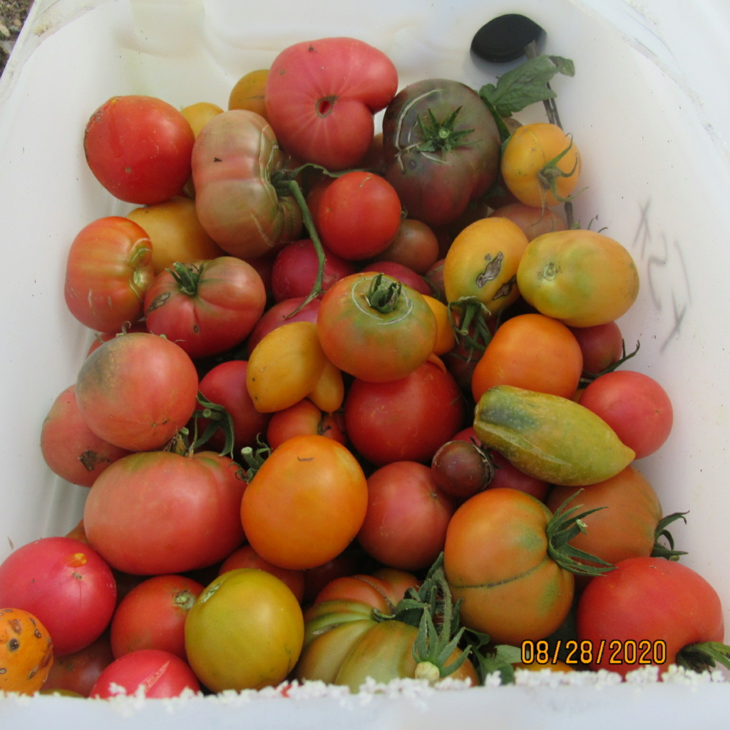 Tomates 2019 - 2020 et 2021 - Page 22 Img_4728