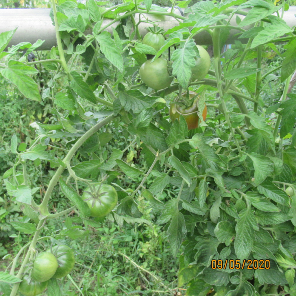 Tomates 2019 - 2020 et 2021 - Page 22 Img_4817