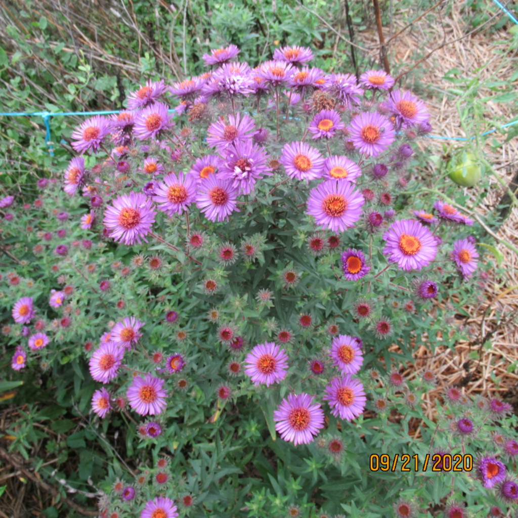 Aster d'automne  - Page 21 Img_5036