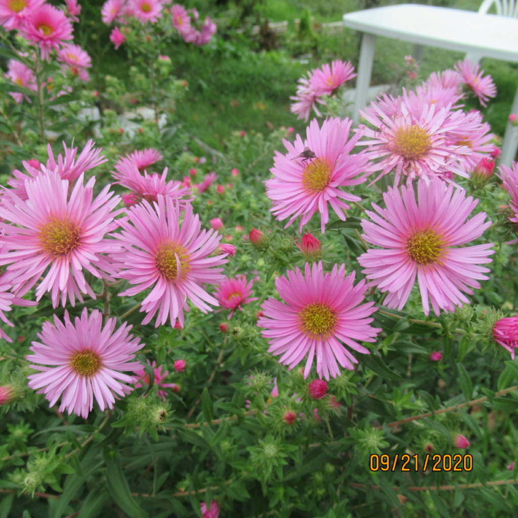 Aster d'automne  - Page 21 Img_5037