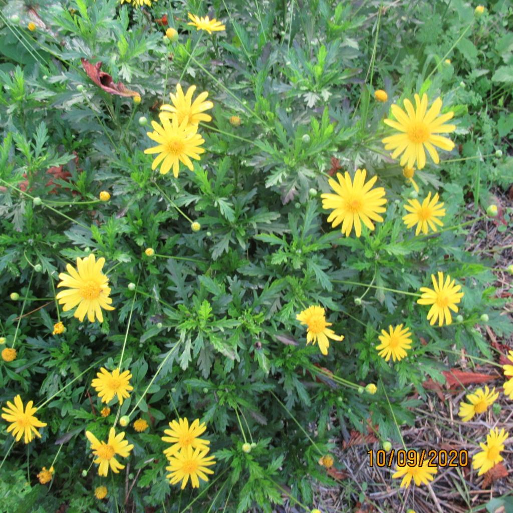 euryops chrysanthemoides  Img_5056