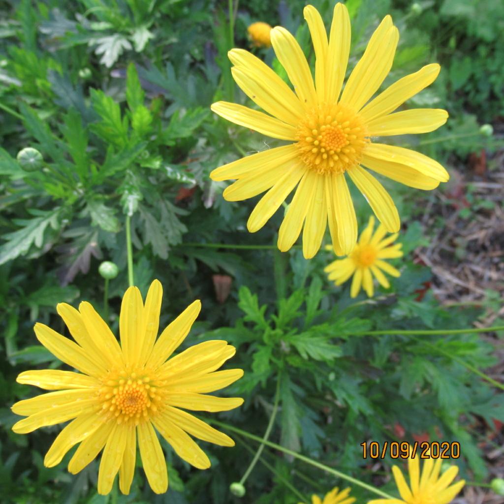 euryops chrysanthemoides  Img_5057