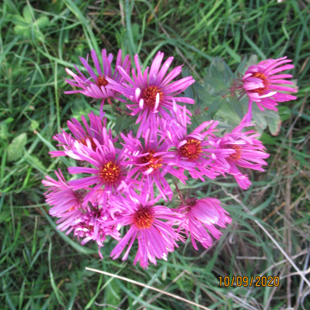 Aster d'automne  - Page 23 Img_5058