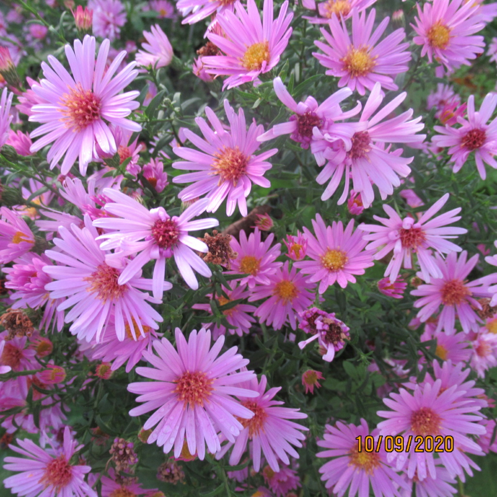 Aster d'automne  - Page 23 Img_5059