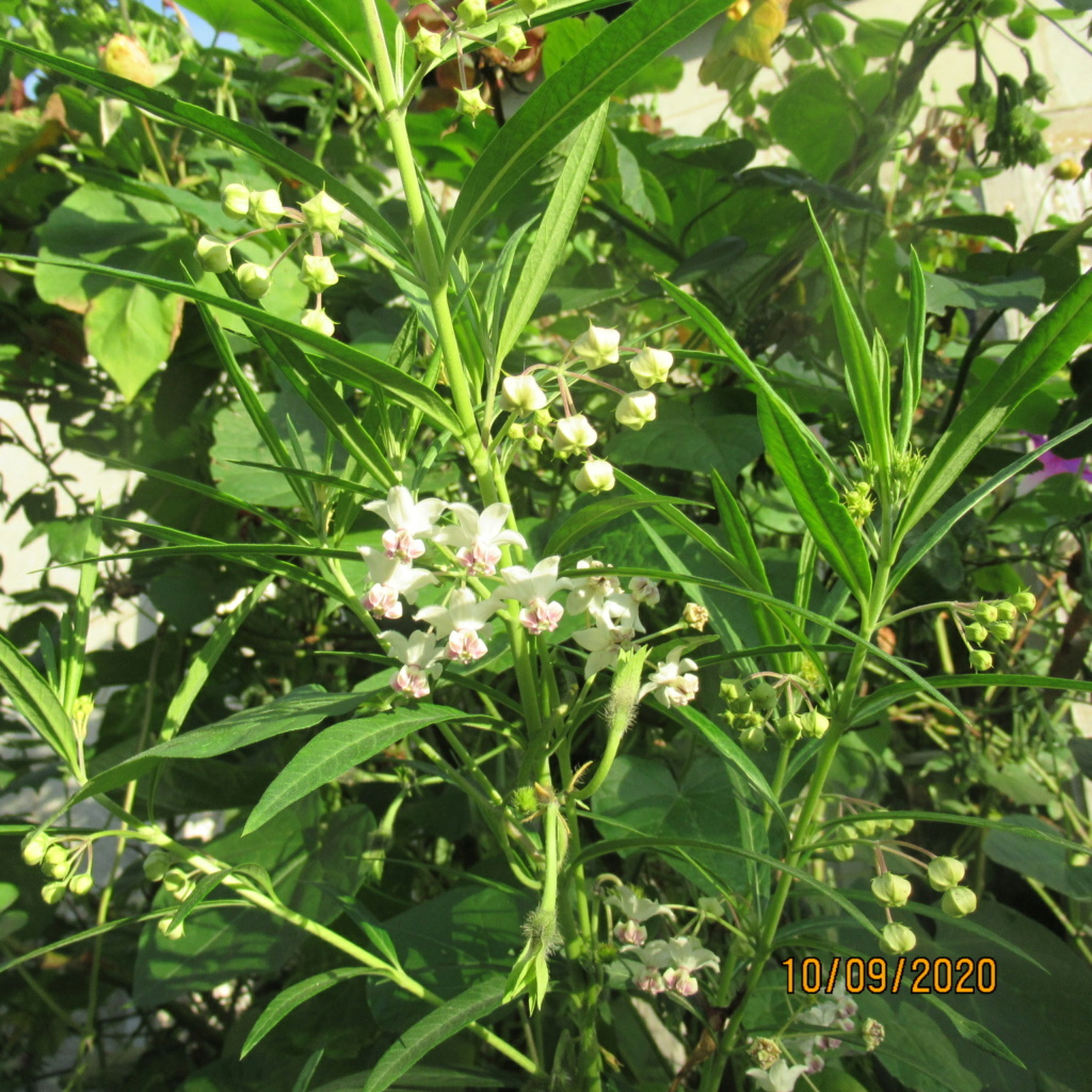 asclepia physocarpa ou gomphocarpus physocarpus - Page 3 Img_5061