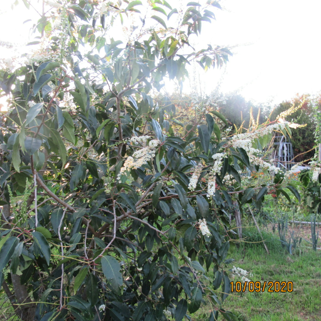 arbuste inconnu :  prunus padus Img_5111