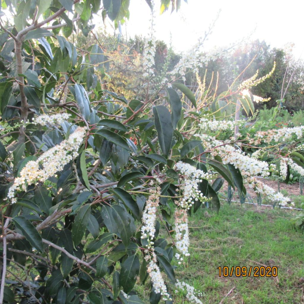 arbuste inconnu :  prunus padus Img_5112