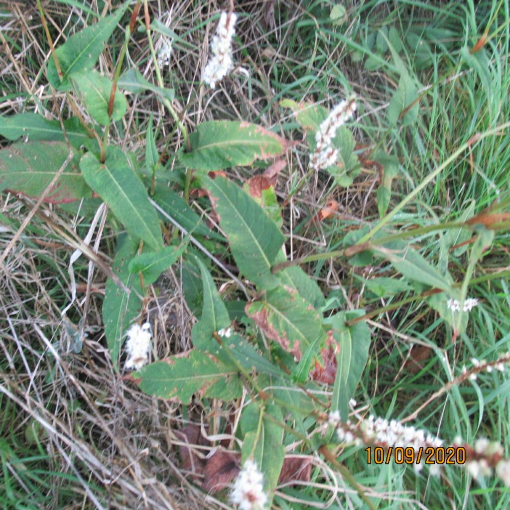 Persicaria amplexicaulis Img_5115