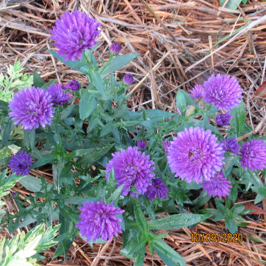 Aster d'automne  - Page 23 Img_5117