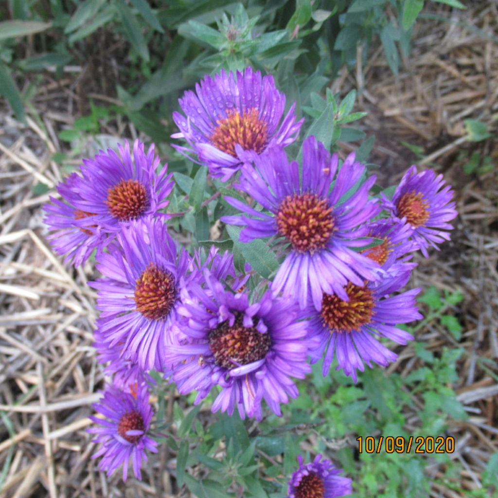 Aster d'automne  - Page 24 Img_5118