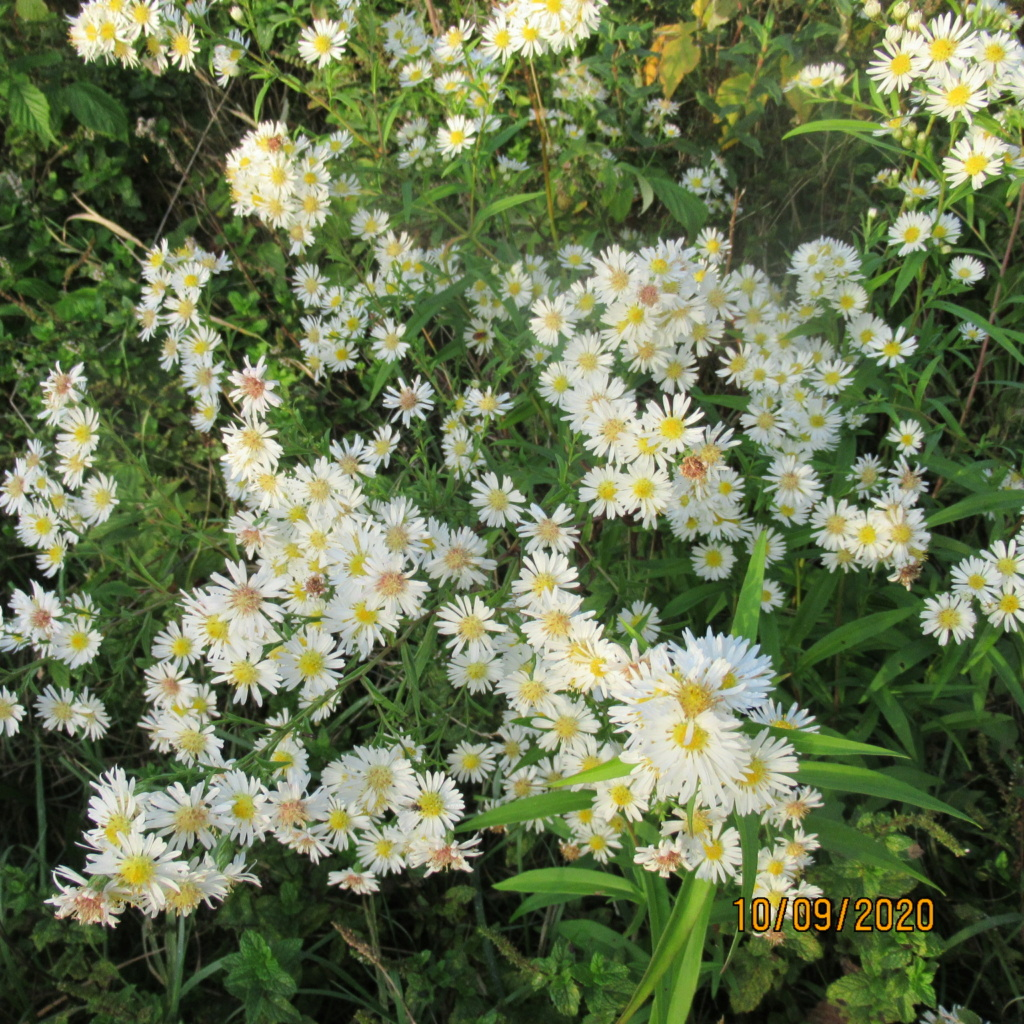 Aster d'automne  - Page 24 Img_5119