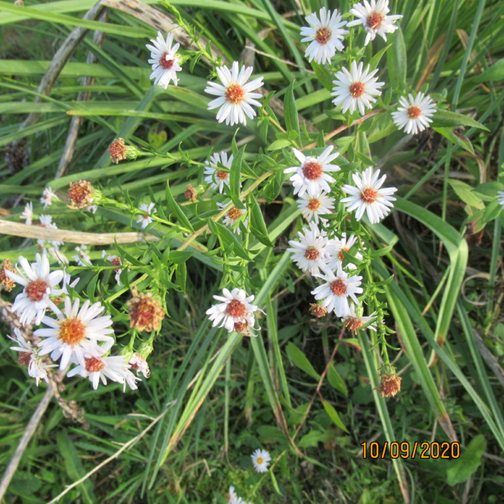 Aster d'automne  - Page 24 Img_5120