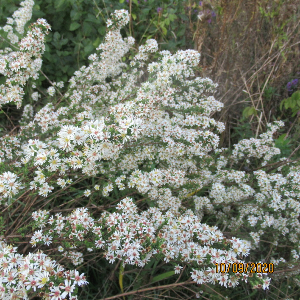 Aster d'automne  - Page 24 Img_5121