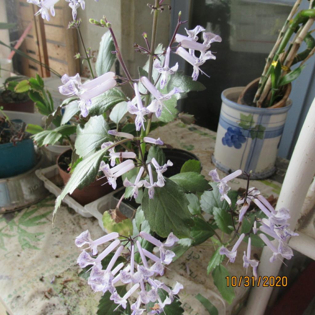 Plectranthus 'Mona Lavender' - Page 4 Img_5227